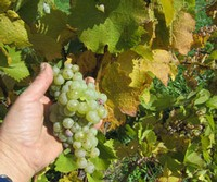 Ingle Vineyard Riesling Harvest