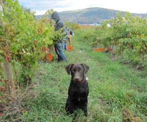 Ingle Vineyard Harvest dog