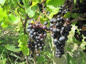 Merlot grapes at Ingle Vineyard
