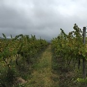 harvest time at Ingle Vineyard