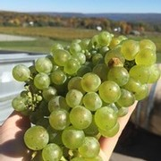 Riesling bunches from harvest 2015 Heron Hill