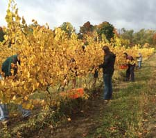 Sweepstakes Harvest at Ingle Vineyard